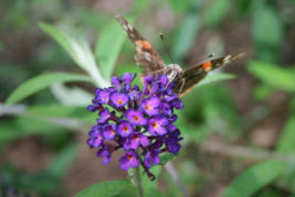 Butterly Bush - Green Landscaping in Walworth County, WI